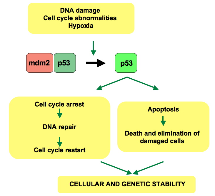 The general pathway for p53's response to DNA damage. Image credit: Thierry Soussi, CC-PD-Mark.