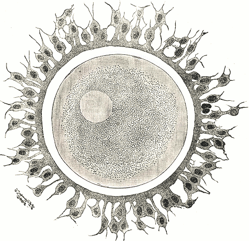 Fig. 1 Human ovum https://de.wikipedia.org/wiki/Datei:Gray3.png Public Domain